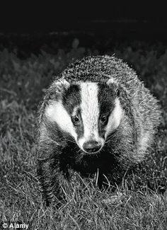 A badger caught on camera