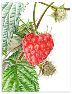 Raspberry, realistic fruit in watercolor by Anna Mason Watercolor Fruit, Fruit Painting, Watercolor And Ink, Watercolour Painting, Watercolor Flowers, Watercolors, Vegetable Illustration, Plant Illustration, Watercolor Illustration