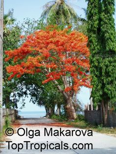 Delonix regia, Poinciana regia, Flame tree, Flamboyant, Royal poinciana, Gul Mohr, Peacock Flower