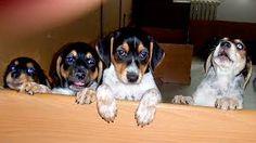 Výsledek obrázku pro český strakatý pes štěňata