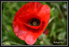 pictures of poppies to download - Google Search