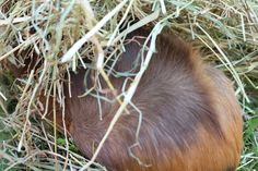 There are many types of beddings for guinea pigs, but not all of them are the best. Read through the list in this article. Guinea Pig Care, Guinea Pigs