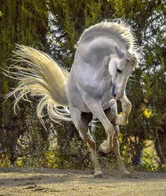 The divine carthusian stallion Argentino XXV de Yeguada de La Cartuja Ignacio Alvar-Thomas
