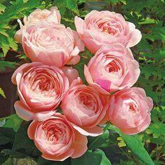 """""""本日の薔薇""""  ^^ たまき(環) [Tamaki] 日本 Rose Farm keiji 作 2014年   「ゆうぜん」の枝変り。ベージュピンク 色、まるで白桃を見るような愛らしい カップ咲き。気候によって外側を淡いピ ンクに染め、またクリムゾン色の花びら が差し色であらわれることも。花は1枝 に1輪ずつ、花もちがよく、優しげな芳 香がほのかに感じます。枝は半直立で、 樹高はややコンパクト。鉢でも良く育ち ます。花名は作者の愛する孫娘さんにち なみます。  花径:6~8cm 樹高:0.8~1.0m 花季:四季咲き その他:香⇒香りのよいバラです   ※京阪園芸ガーデナーズのF&Gローズはこちらから→ http://www.keihan-engei-gardeners.com/fs/keihangn/c/f-grose"""