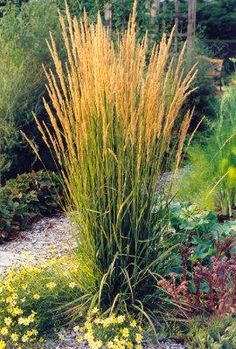 Calamagrostis Karl Forester Grass. This tall, dramatic grass doesn't get too wide and is am amazing backdrop for just about any flower color.