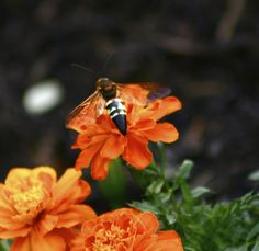 The ground digger wasp is one of the largest wasp species and lives up to its name of digging in the ground. Get Rid Of Wasps, Insect Species, Digger, Hornet, Habitats, Insects, Outdoors, Gardening, Plants