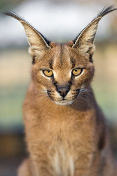 Serious caracal looking at me