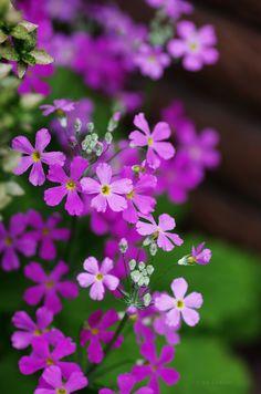 桜草(さくらそう) Primrose