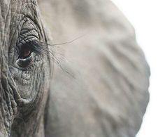 An African Elephant  #elephant