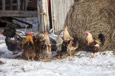 Keep Your Chickens Healthy and Producing During Winter Months | Iowa State University Extension and Outreach Small Farms Program