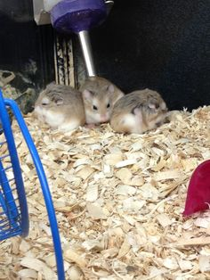 Hamsters at Petsmart