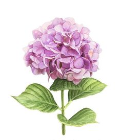 This 8 x 10 giclee reproduction features a crisp image of my original watercolor painting Hydrangea. The watermark will not be on the print. Rowntree Studio Elizabeth R. Hortensia Hydrangea, Pink Hydrangea, Hydrangea Plant, Hydrangeas, Watercolor Flowers, Watercolor Paintings, Original Paintings, Botanical Flowers, Botanical Prints