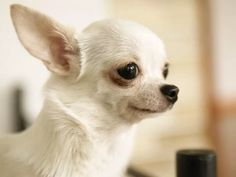 чихуахуа белая фото: 13 тыс изображений найдено в Яндекс.Картинках