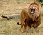 Lew król zwierząt