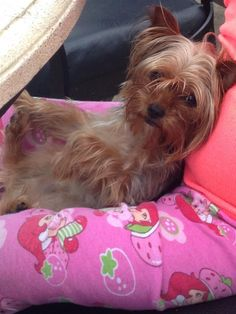 Lost Dog - Yorkshire Terrier Yorkie - Melrose Park, IL, United States 60160
