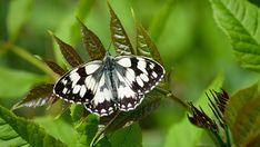 Suomen Perhoset Ruutuperhonen » Suomen Perhoset Dragonflies, Butterflies, Nature, Animals, Beauty, You Are Wonderful, Ant, Hand Spinning, Dragon Flies
