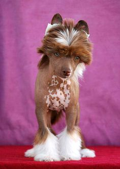 This picture changes my mind about this breed! Chinese Crested Dog - Little Dog Of Dream Lord Chocolate Funny Animal Photos, Dog Photos, Dog Pictures, Baby Animals, Funny Animals, Cute Animals, Little Dogs, Beautiful Dogs, Animals Beautiful