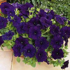 RAMBLIN NU BLUE Trailing Petunia Seeds Deep, rich purple-blue flowers.