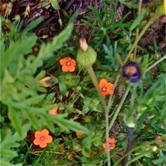 Scarlet Pimpernel (Anagallis arvensis) Taken April 17, 2010 1:43:36 PM   Near Bryan, TX