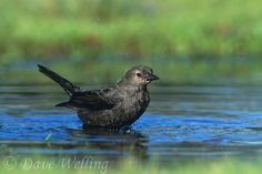 Brewer's Blackbird in pond -- photo by Dave Weller / THE WITCH OF BLACKBIRD POND / Get more fun, hands-on ways to make great books MEMORABLE, and MEANINGFUL at http://www.litwitsworkshops.com
