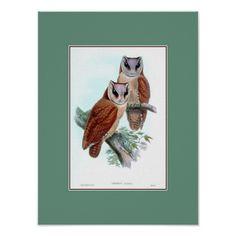 Oriental bay owl, restored antique Victorian print