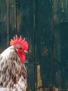 there is a rooster, eieio
