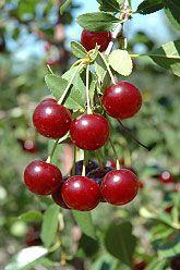 Carmine Jewel Cherry (Prunus & Jewel& at Shelmerdine Garden Center Vegetables Photography, Fruit Photography, Growing Fruit Trees, Lawn And Garden, Garden Fun, Garden Trees, Garden Plants, Exotic Fruit, Gardens