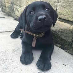 Mind Blowing Facts About Labrador Retrievers And Ideas. Amazing Facts About Labrador Retrievers And Ideas. Black Lab Puppies, Cute Puppies, Cute Dogs, Dogs And Puppies, Doggies, Corgi Puppies, Labrador Puppies, Funny Dogs, Cute Baby Animals