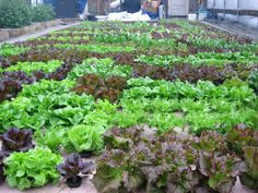 Hydroponic greenhouse lettuce growing in deep water culture (DWC) system at Mud Lake Farms in Michigan. Hydroponic Vegetables, Hydroponic Farming, Hydroponic Growing, Hydroponics System, Growing Plants, Commercial Farming, Commercial Aquaponics, Grow Lamps, Invasive Plants
