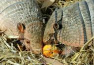 Los armadillos Wilma y Fred, similares a los gliptodontes, en el zoo de Hanover en el norte de Alemania el 10 de octubre de 2012 (DPA/AFP | Holger Hollemann)
