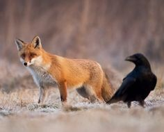 Red Fox and Raven by Marcin Perkowski