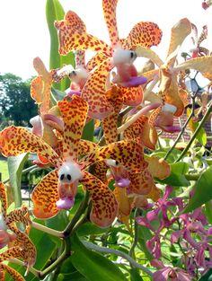 orchids of sarawak | Kuching Orchid Gardens Kuching Sarawak Malaysian Borneo