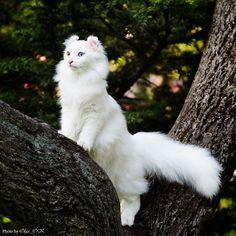 American Curl Cat - Explore Olga(OK)'s photos on Flickr. Olga(OK) has uploaded 152 photos to Flickr.