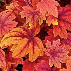 "Sweet Tea Heucherella: Sweet Tea's unusual, velvety rich orange and burgundy-red leaves darken in summer and brighten in fall. This colorful cross between Heuchera and Tiarella grows 20"" tall. An impressive border or container plant that also works well planted en masse. Ships in a 3"" pot. Zones 4-9. Heucherella"