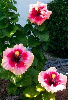 Hidden Valley Hibiscus Worldwide ~ Hibiscus Garden in Florida