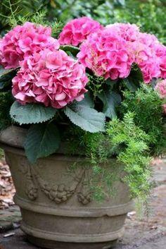 Pot of pink mophead hydrangea