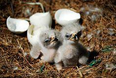 Baby Bald Eagle | ... county am known as decorah bald eaglets break through the eaglet