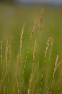 Prairie Moon Nursery: Danthonia spicata (Poverty Oat Grass)