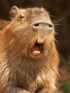 18 Best Capybara Images Capybara Guinea Pigs Rodents