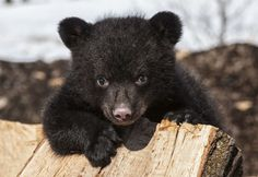 A cute little black bear cub holding on to a tree