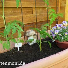 Brennessel als natürlicher Dünger, Wärme für die Tomatenpflanze