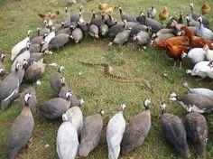 Birds surround a snake...