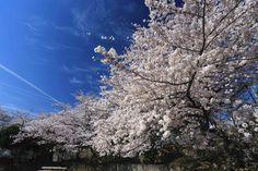 王子公園の桜が、今年も見事に満開を迎えました。息を呑むほどの美しさです(^o^) pic.twitter.com/uADnXu8dv2