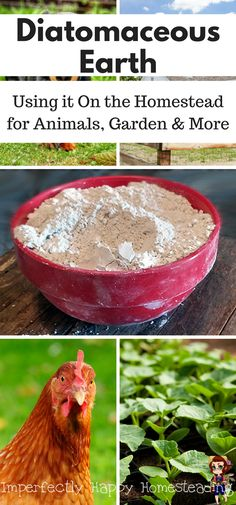 Using Diatomaceous Earth on the Homestead for Animals, Garden & More!
