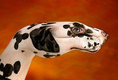 Guido Daniele :: Dalmatian