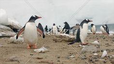 gentoo penguins at beach. - Video of group of Gentoo penguins at seashore.