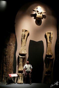 Argentinosaurius, Trelew Patagonia Argentina - Gusliht Se encuentra entre los dinosaurios conocidos más pesado que se conozcan, con una longitud de aproximadamente de 35 metros, una altura de 21 y un peso aproximado de entre 80 a 120 toneladas, el mismo de 15 elefantes. Una vértebra tenía una longitud de 1,3 metros y la tibia alrededor de 1,6 mts.