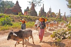 Village girls herd cattle past ancient stupas in the unique ruins near Indein village on I...