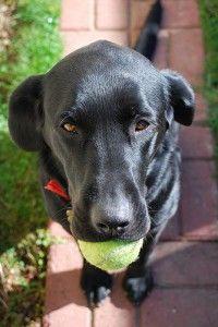 black lab with tennis ball   Richmond Pet Lovers