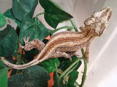 This is a Gargoyle Gecko, but not my particular one.